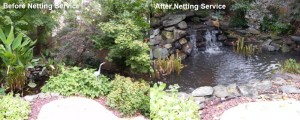 reconstucting backyard koi pond